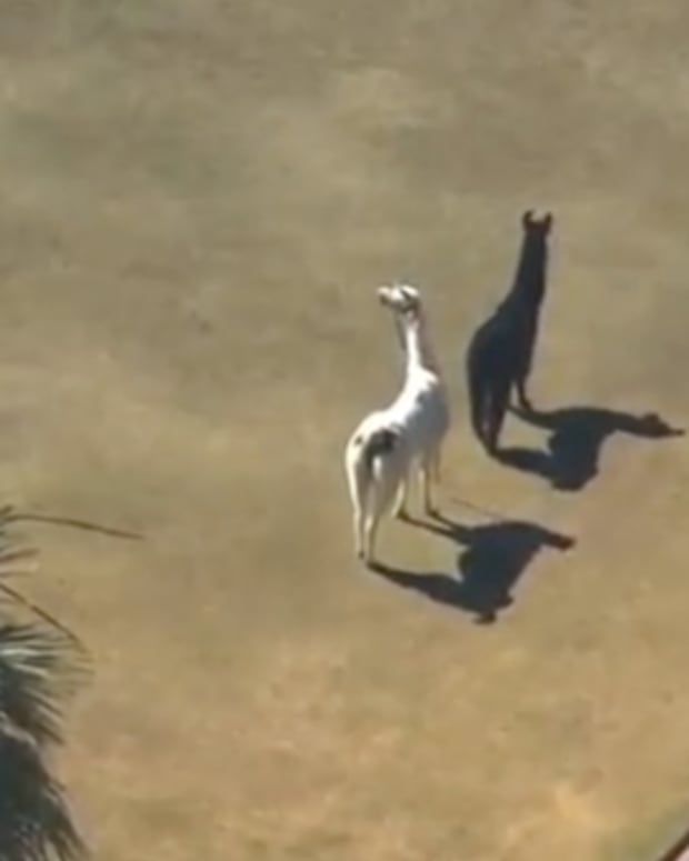 EXCLUSIVE: Llama Footage Actually Jack U Video