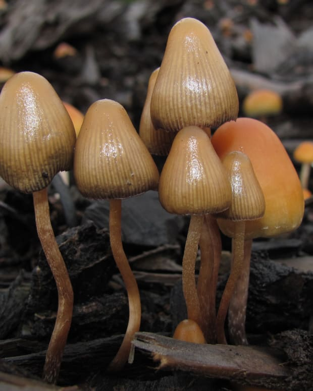 psilocybin mushrooms magic
