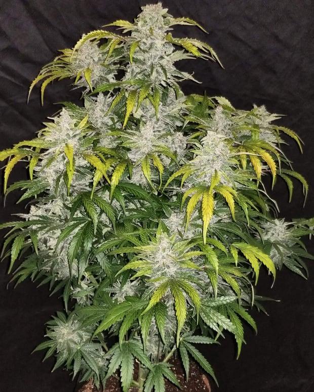 CBD Cannabis Weed Plant Marijuana