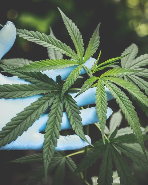 CBD Cannabis leaf