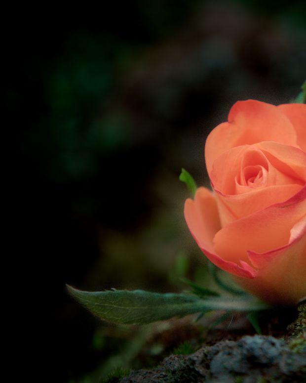 Rose (photo by Sander van der We)