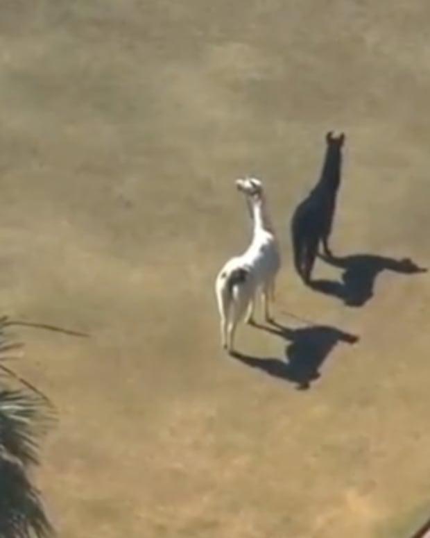 EXCLUSIVE: Llama Footage Actually Jack U Video