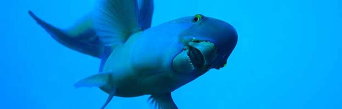 Parrot_fish
