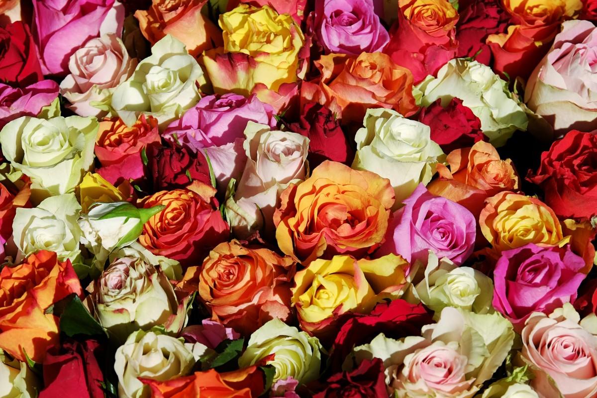 roses-3256796_1920