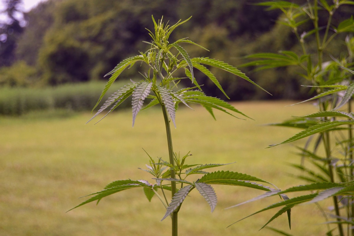 cannabis weed plant