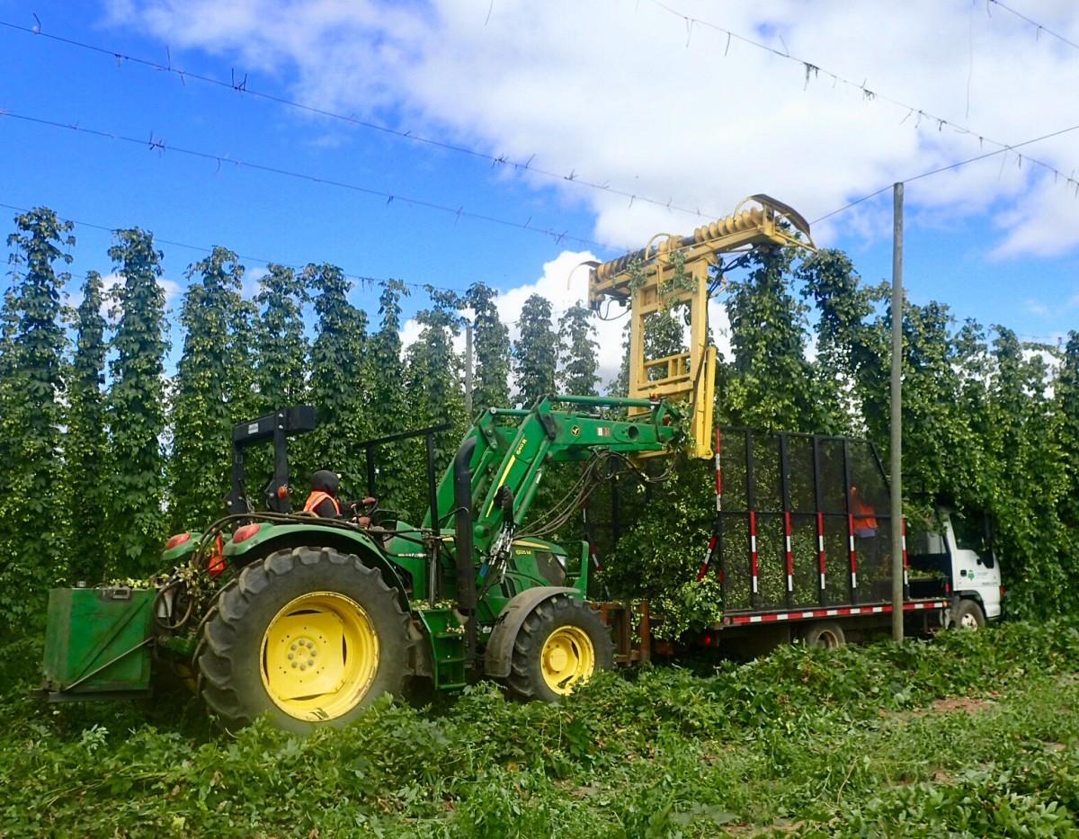 Crosby Farms - Fresh Hops Harvest