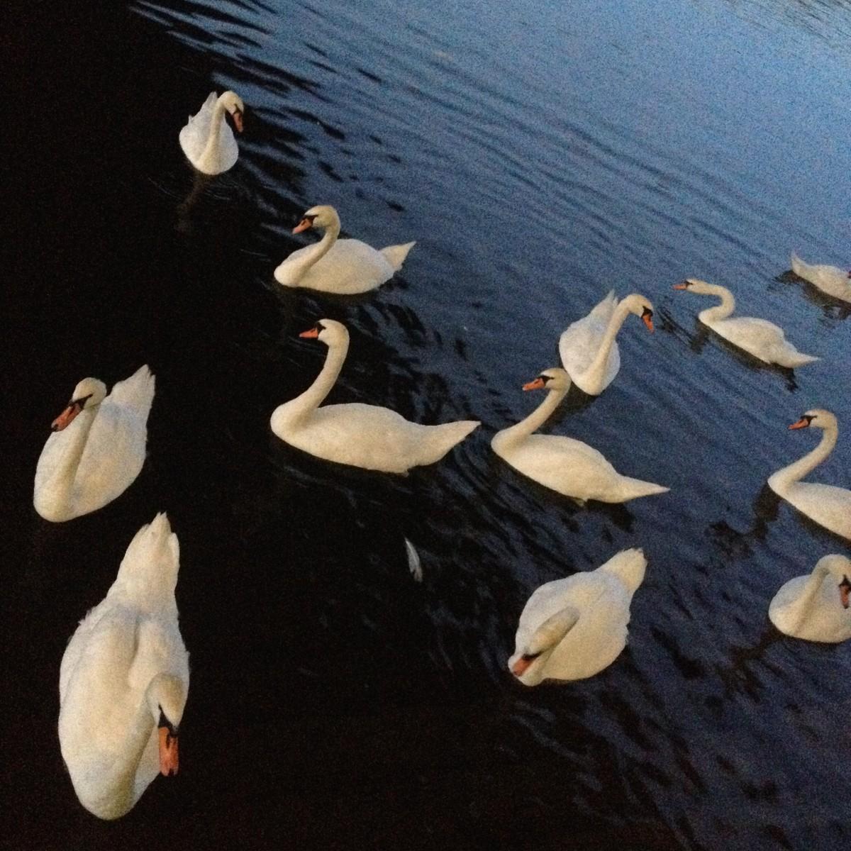 Swans in Vienna