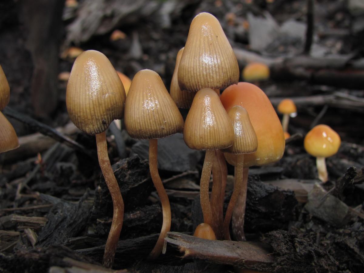 psilocybin mushrooms magic