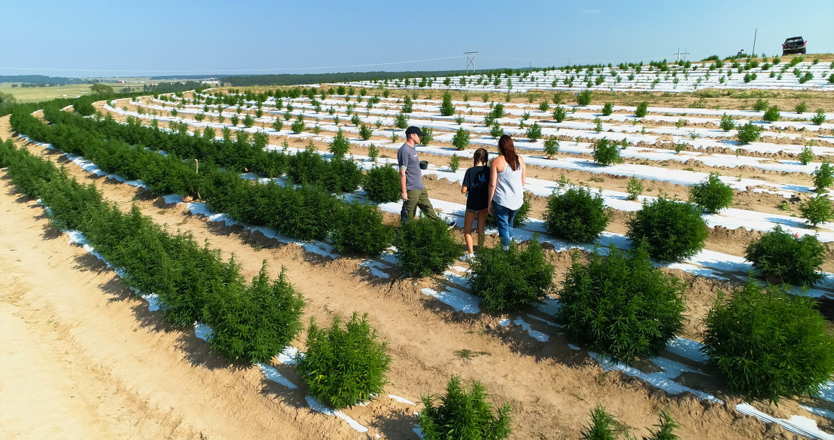 Weed Plants Cannabis