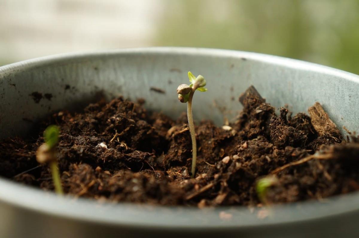 Seedling For Plant