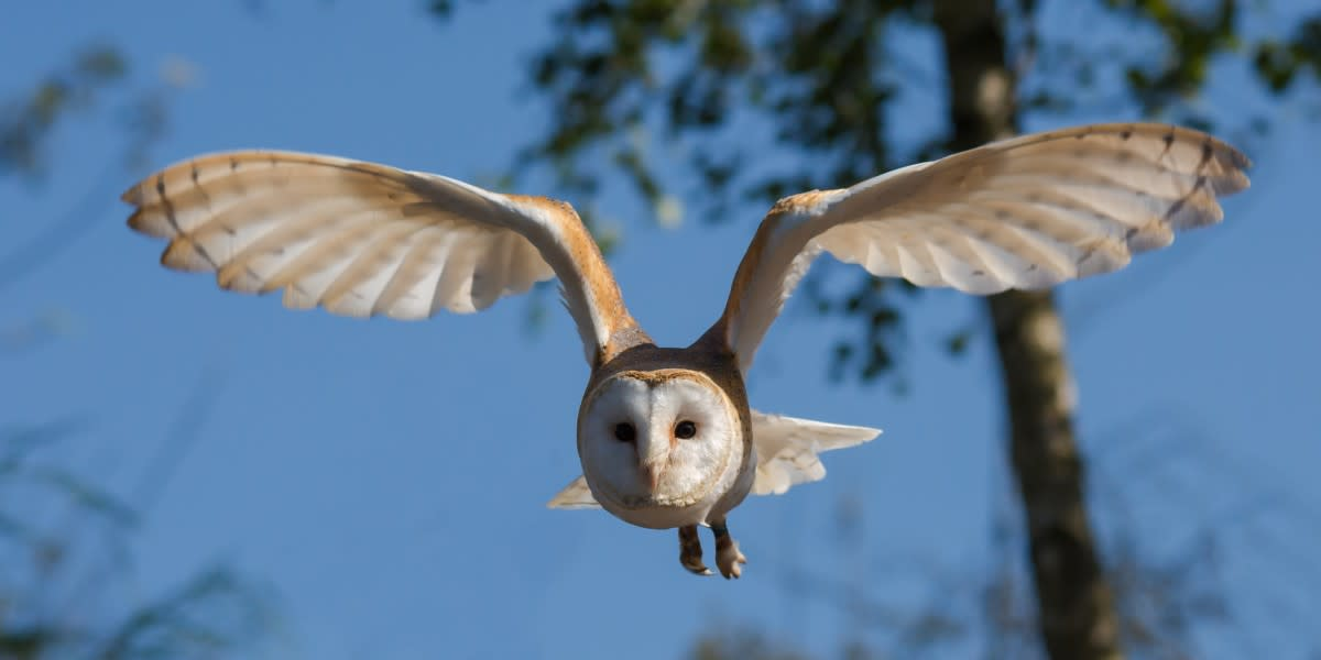 Florida Barn Owl